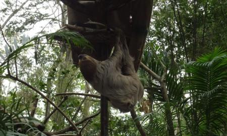Ленивец в Као Кео
