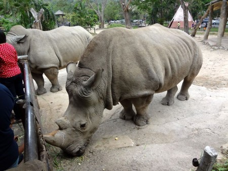 Носороги в Као Кео