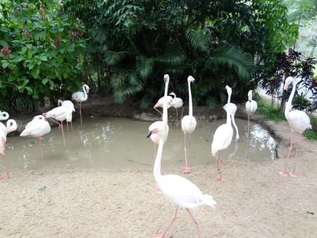 Розовые фламинго в Као Кео